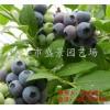 蓝莓穴盘苗批发 蓝莓穴盘苗价格 蓝莓穴盘苗基地