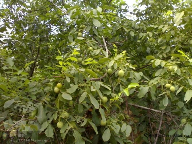 """""""清香""""核桃属晚实类型中结果早,丰产性强的品种。树体中等大小,树姿半开张,幼树时生长较旺,结果后树势稳定。高接树第二年开花结果,坐果率85%以上。新栽植的嫁接苗第二年开花株率60%以上,第三年开花株率100%,盛果期亩产300-400公斤。在河北保定地区4月上旬萌芽展叶,中旬雄花盛期,4月中、下旬雌花盛期,9月中旬果实成熟,11月初落叶。坚果较大,平均单果重16."""