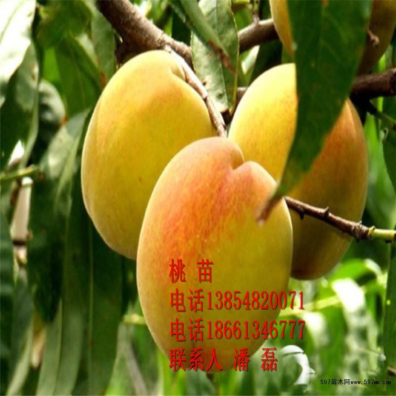 问:家里有二十亩地,听说黄桃树苗收益很大,并且种类也很多,但是不知道