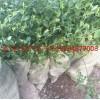 莱克西蓝莓苗批发 莱克西蓝莓苗基地 莱克西蓝莓苗哪里便宜
