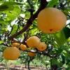 1公分秋月梨树苗基地
