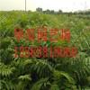 红油香椿效益 红油香椿主产地 红油香椿产量如何