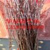 大量供应梨树 梨树价格 红梨树苗产地