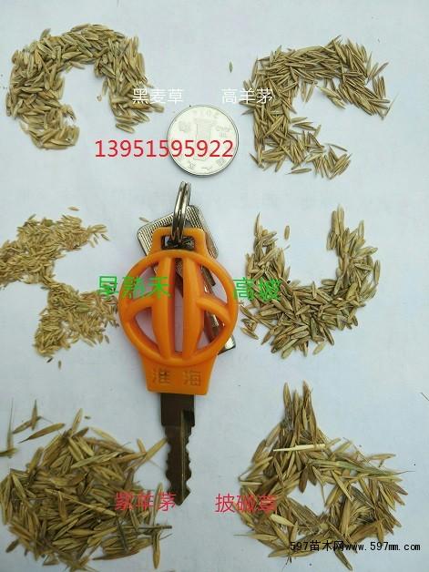 哪里有交播型黑麦草种子进口黑麦草种子饲料型黑麦草种子包邮图片3