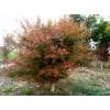 供应1-10鸡爪槭