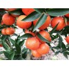 世纪红基地供应1-3年生晚熟12月份采摘美国糖橘果树苗木