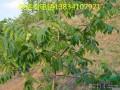 8公分核桃树10公分