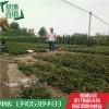 大红袍花椒苗基地供应价格 大红袍花椒苗一亩地种植多少棵