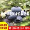 纳尔逊蓝莓苗基地 纳尔逊蓝莓苗批发