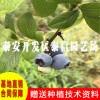 康维尔蓝莓苗基地 康维尔蓝莓苗价格