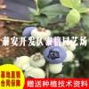 赫伯特蓝莓苗价格 赫伯特蓝莓苗批发