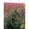 供应美国紫薇1-4公分紫薇