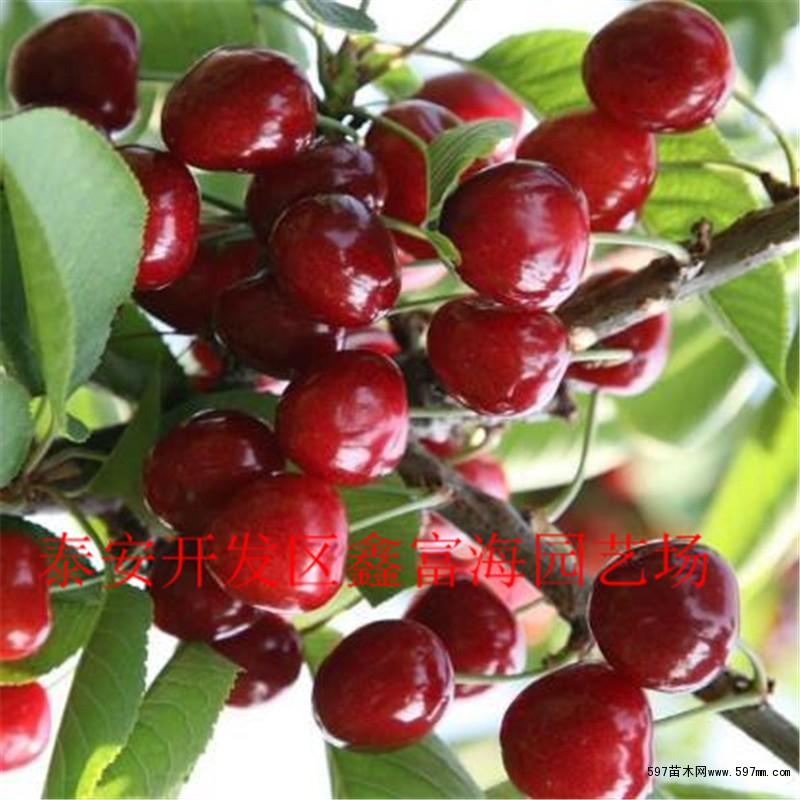 樱桃苗多少钱一颗 樱桃树苗价格图片1