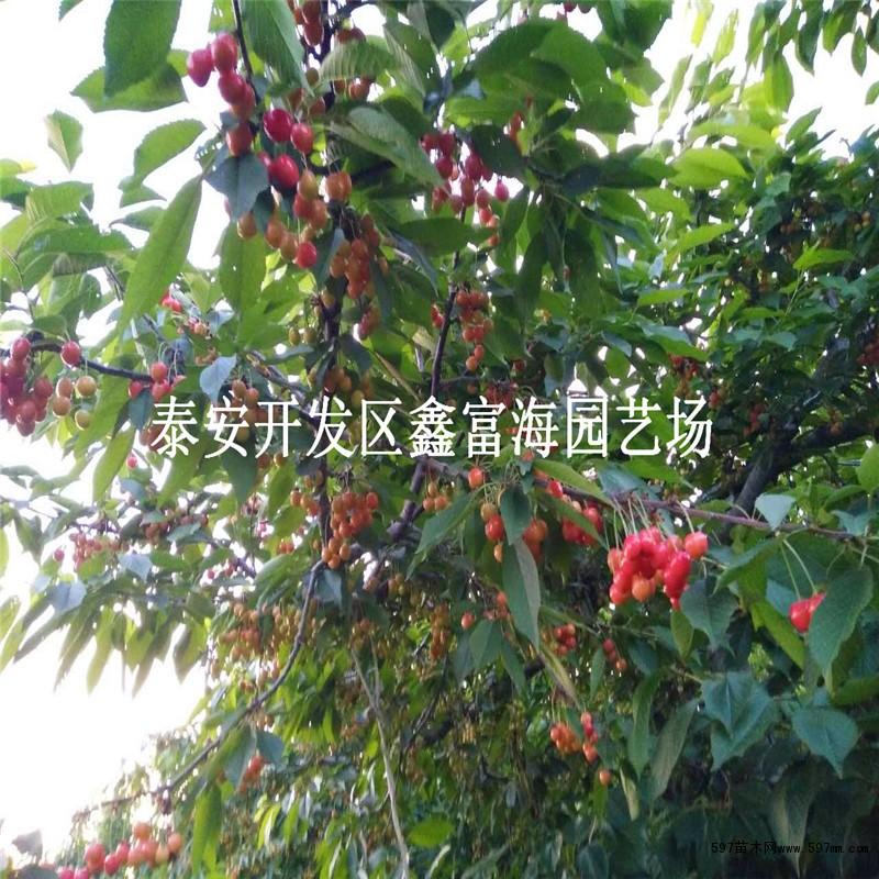 哪里有樱桃苗 1公分樱桃苗价格图片