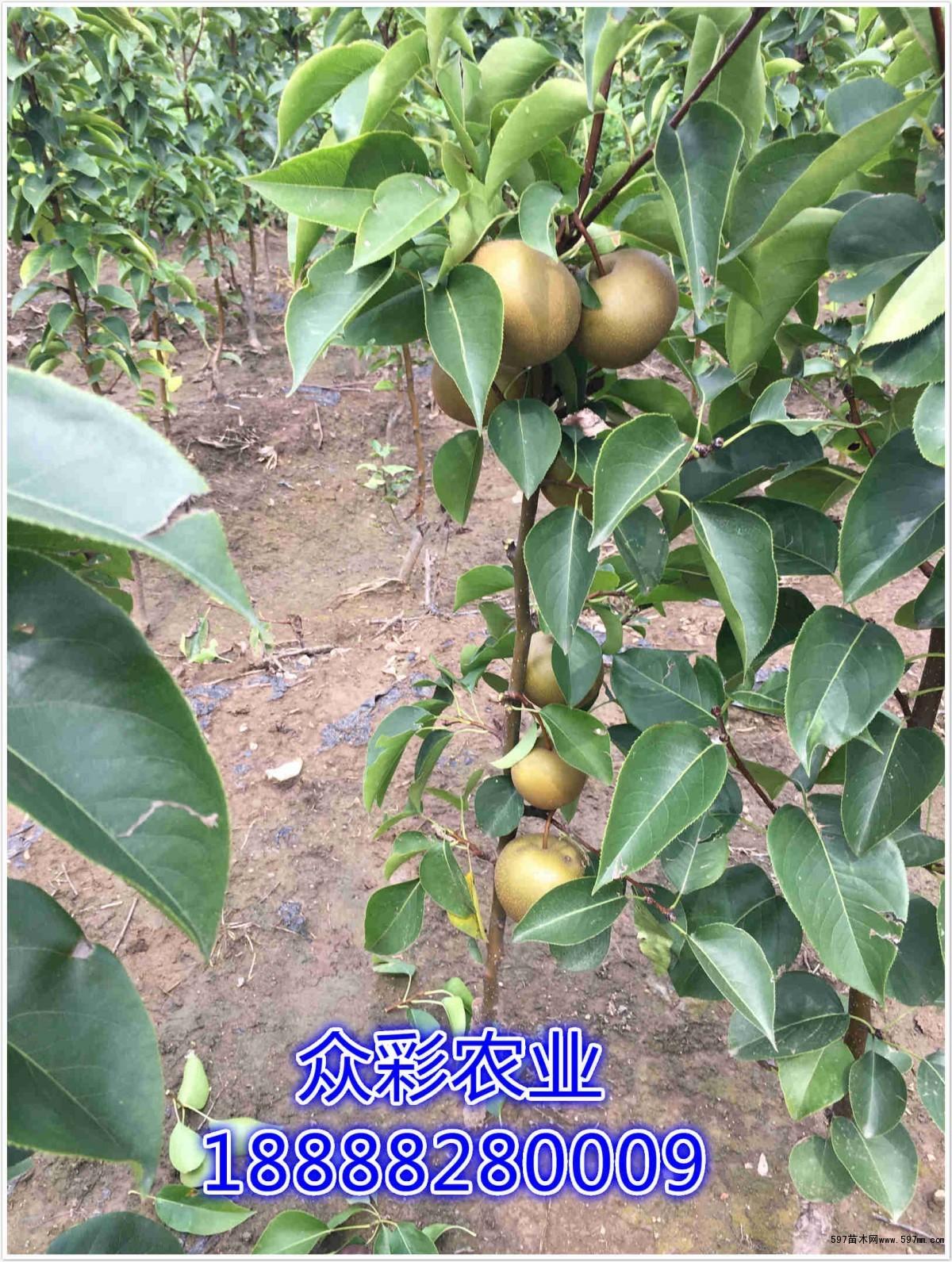 批发供应梨树苗的基地 泰安众彩农业图片1