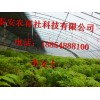 香椿苗运输大量供应香椿苗
