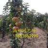 柱状苹果苗价格=1公分柱状苹果苗=哪里有1公分柱状苹果苗