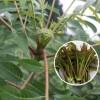 大棚香椿苗规格 红油香椿苗价格 0.5到3公分香椿苗批发