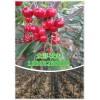 适合大棚种植樱桃苗木的种类