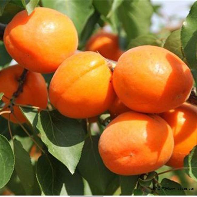 金太阳杏苗哪里有 杏树苗批发价格|丰源红杏树苗价格