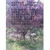 18公分垂柳价格柳树专供