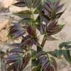 香椿树苗供应商 红油香椿苗价格 香椿苗低价出售