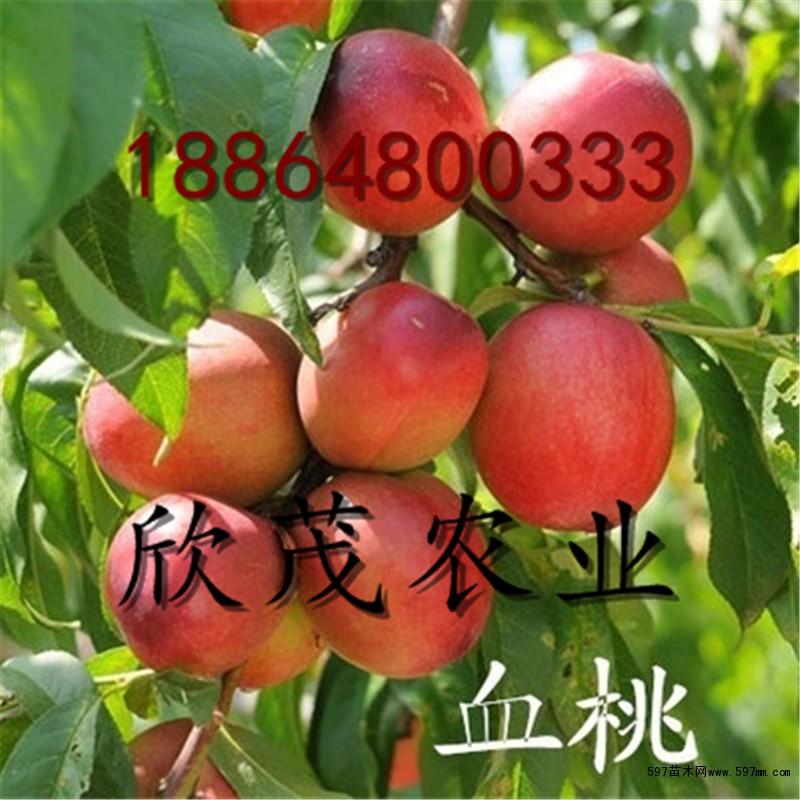 金秋红蜜桃树苗价格 低价出售嫁接桃树苗品种