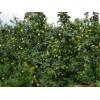 酥梨苗,一路香梨树苗,苹果梨树苗,梨树苗多少钱一颗