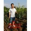 3公分梨树苗供应 4公分梨树品种 5公分大梨树