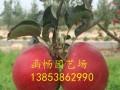 哪里有鲁丽苹果苗=鲁丽苹果苗