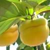 3公分合柿柿子苗哪里有卖