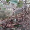 新品种葡萄苗供应  绍兴一号葡萄苗价格  高产 早熟