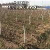 今年秋季樱桃苗核桃苗各种苗木价格