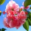 樱花树苗价格