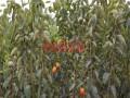 哪里有三公分柿子苗