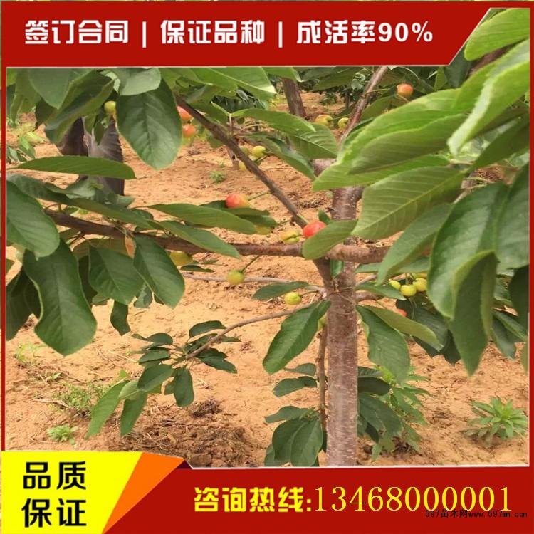 大樱桃树苗价格