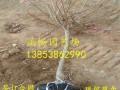 3公分4公分5公分山楂树苗多少钱