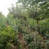 北海道 山东北海道黄杨小苗 1.5米1.8米2米北海道价格