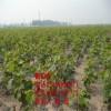 巨峰葡萄树苗、巨峰葡萄树树苗价格多少、巨峰葡萄树树苗基地