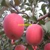 山东烟富3号苹果苗报价 1公分烟富3号苹果苗价格