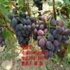 嫁接葡萄苗、嫁接葡萄树苗新品种、嫁接红提葡萄树苗价格多少
