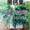 特价 山西黑钙果树苗 钙果苗 黑钙果树 黑钙果苗 价格 加工