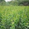 农户直销16公分、17公分、18公分樱花树基地