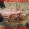 急处理樱桃种子 山樱种子多少钱一斤 樱桃种子价格