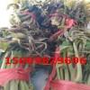 红油香椿树苗价格 香椿树苗亩产多少斤