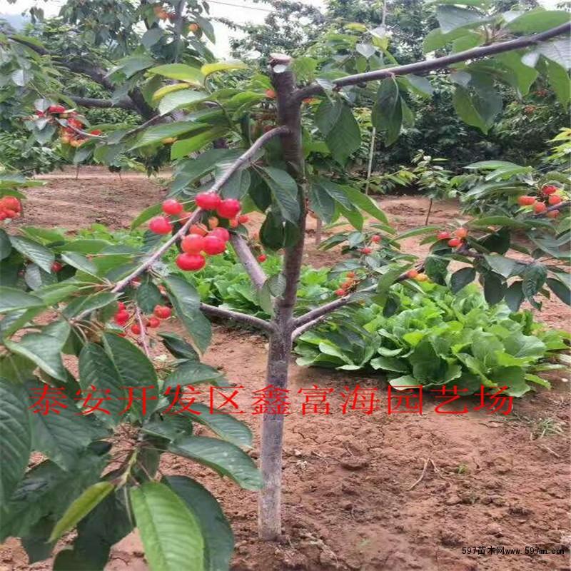樱桃树苗多少钱一颗 供应俄罗斯8号樱桃树苗图片