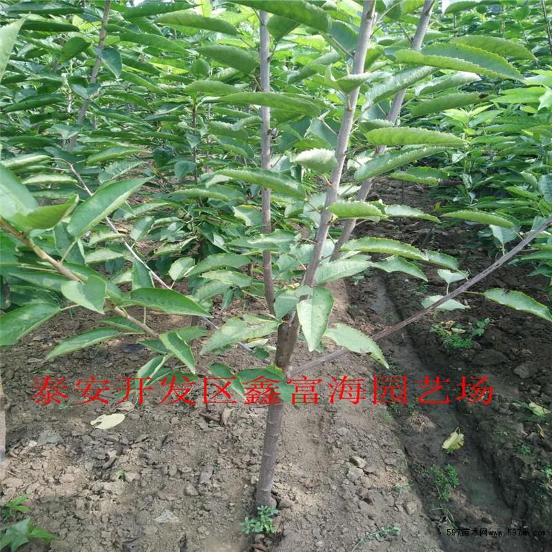樱桃树苗新价格 1公分俄罗斯8号樱桃树苗批发价格图片