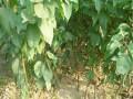 哪里有杏树苗
