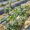 蓝莓苗多少钱一棵  河北哪里有蓝莓苗
