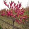 山东大红叶碧桃树价格